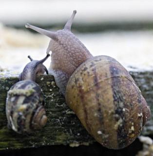 Espace Escargots, deux escargots en gros plan sur une branche d'arbre