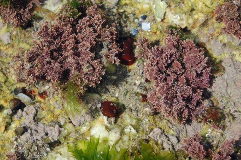 corallina-officinalis-alguistes-582725